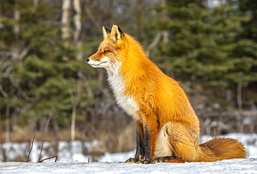 Red fox (Vulpes vulpes) sitting in the snow. Fox family was often seen here near Campbell Creek and traveling on the city bike trail, Alaska, United States of America