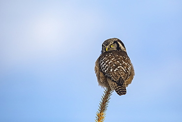 Northern Hawk Owl (Surnia ulula), known for sitting on the highest perch possible while looking for prey such as voles moving below. This one sits on the top of a tree against a blue sky, South-central Alaska, Anchorage, Alaska, United States of America
