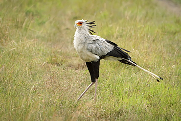 Secretary bird (Sagittarius serpentarius) walking across grass facing left, Serengeti National Park, Tanzania