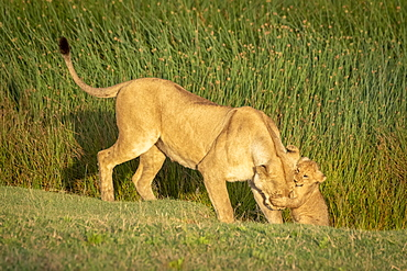 Lion (Panthera leo) cub grabs head of lioness on grass, Serengeti National Park, Tanzania