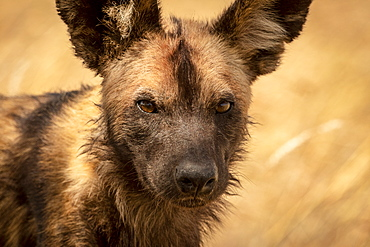 Close-up of wild dog (Lycaon pictus) standing in grass, Serengeti National Park, Tanzania