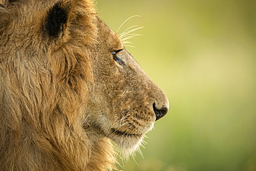 Close-up of male lion (Panthera leo) head in profile, Serengeti National Park, Tanzania