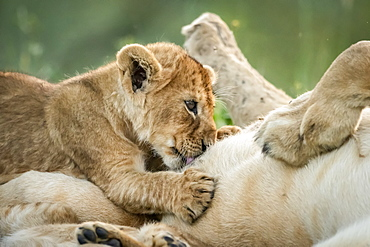 Close-up of lioness (Panthera leo) on back with suckling cub, Serengeti National Park, Tanzania