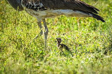 Close-up of kori bustard (Ardeotis kori) legs with chick, Serengeti National Park, Tanzania