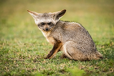 Bat-eared fox (Otocyon megalotis) sits on grass eyeing camera, Serengeti National Park, Tanzania