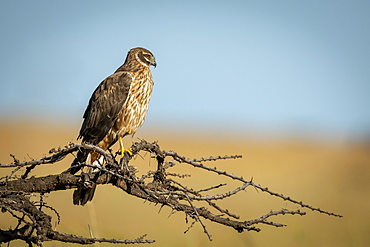 African marsh harrier (Circus ranivorus) perched on bare branch, Serengeti National Park, Tanzania