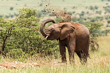 African elephant (Loxodonta africana) throwing earth over its head, Serengeti National Park, Tanzania