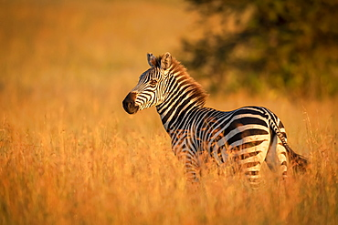 Plains zebra (Equus quagga) stands in grass watching camera, Serengeti National Park, Tanzania