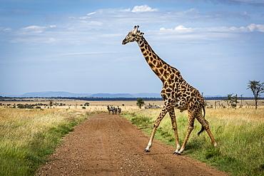 Masai giraffe (Giraffa camelopardalis tippelskirchii) crosses track watched by zebra (Equus quagga), Serengeti National Park, Tanzania