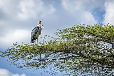 Marabou stork (Leptoptilos crumenifer) stands facing right on branch, Serengeti National Park, Tanzania