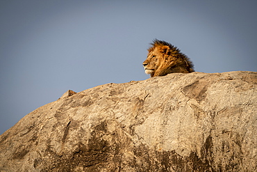 Head of male lion (Panthera leo) lying on kopje, Serengeti National Park, Tanzania