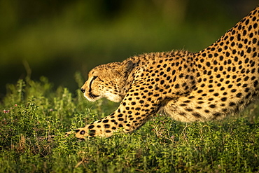 Close-up of cheetah (Acinonyx jubatus) stretching in golden light, Serengeti National Park, Tanzania
