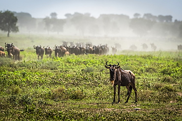 Blue wildebeest (Connochaetes taurinus) on the savannah, Serengeti National Park, Tanzania