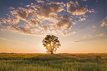 Oat field with cottonwood tree at sunset, near Dugald, Manitoba, Canada