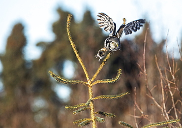 Northern Hawk Owl (Surnia ulula), known for sitting on the highest perch possible while looking for prey such as voles moving below. This one flies from the top of a tree with a rodent in it's claws, Alaska, United States of America