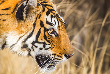Tiger (Panthera tigris) in the wild, Ranthambhore National Park, Northern India, Rajasthan, India
