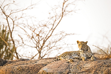 Leopard (Panthera pardus) resting on a rock in the sunset light in Northern India, Rajasthan, India