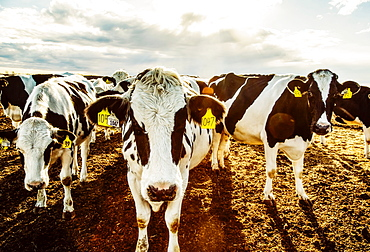 Curious Holstein cows looking at the camera while standing in a fenced area with identification tags in their ears on a robotic dairy farm, North of Edmonton, Alberta, Canada