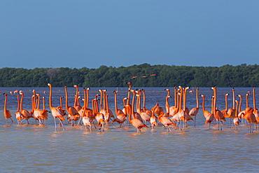 American Flamingos (Phoenicopterus ruber) wading in water, Celestun Biosphere Reserve, Celestun, Yucatan, Mexico