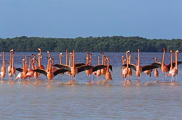 American Flamingos (Phoenicopterus ruber) standing in water, Celestun Biosphere Reserve, Celestun, Yucatan, Mexico