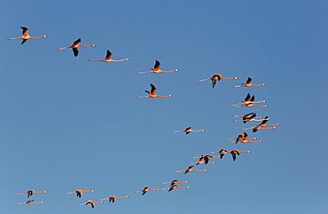 American Flamingos (Phoenicopterus ruber) flying in a V formation, Celestun Biosphere Reserve, Celestun, Yucatan, Mexico