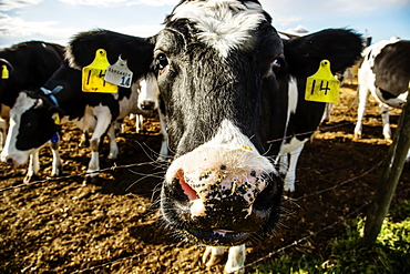 Close-up of the head of a Holstein cow standing at a barb wire fence making a funny face, with identification tags in it's ears on a robotic dairy farm, North of Edmonton, Alberta, Canada