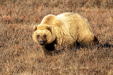 Grizzly bear (Ursus arctos) walking in brown grass looking at the camera, Denali National Park and Preserve, interior Alaska, Alaska, United States of America
