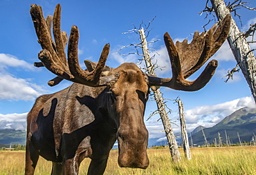 Mature bull moose (Alces alces) with antlers in velvet standing in a field, Alaska Wildlife Conservation Center, South-central Alaska, Portage, Alaska, United States of America