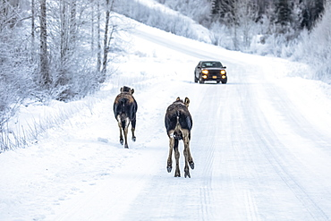 A cow moose (Alces alces) and calf trot along the snowy Arctic Valley Road towards a vehicle in winter, passing by a car with little concern, Alaska, United States of America
