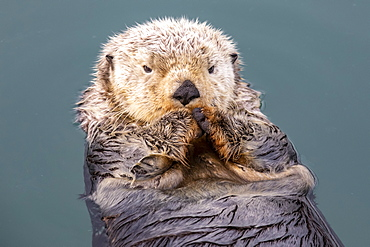 A wet Sea otter (Enhydra lutris) playing and eating near the small boat harbour, South-central Alaska, Seward, Alaska, United States of America