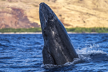 Young Humpback whale (Megaptera novaeangliae) head lunge, Lahaina, Maui, Hawaii, United States of America