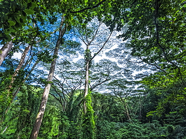 Lush vegetation in a rainforest in Hawaii, Oahu, Hawaii, United States of America