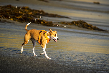 A dog wearing a harness walks on the beach at Houghton Bay, New Zealand