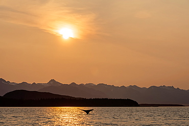 Humpback whale (Megaptera novaeangliae) swimming at dusk in the Inside Passage of Lynn Canal with the Chilkat Mountains in the background, Alaska, United States of America
