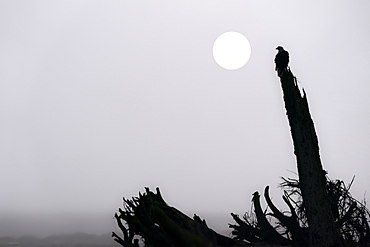 Bald eagle (Haliaeetus leucocephalus) on a foggy morning at Mendenhall Wetlands, Juneau, Alaska, United States of America