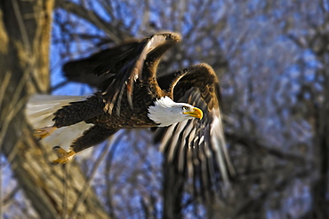 American Bald Eagle (Haliaeetus leucocephalus) taking flight from a tree, Colorado, United States of America