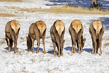 Five cow elk (Cervus canadensis) grazing in the light snow-covered field standing in a row with their white rears showing, Steamboat Springs, Colorado, United States of America