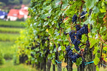 Purple grapes on a hillside vine in a row with village below, Remich, Luxembourg