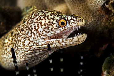 Close-up of a Stout moray eel (Muraena robusta) with sharp teeth, Wailea, Maui, Hawaii, United States of America