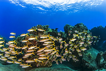 A colourful view of schooling Yellow Goatfish (Mulloidichthys martinicus), Lahaina, Maui, Hawaii, United States of America