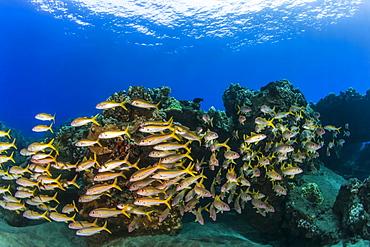 A colourful view of schooling Yellow Goatfish (Mulloidichthys martinicus), Lahaina, Maui, Hawaii, United States of America