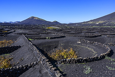 Stone wall protection for grapevines on a volcanic landscape, Lanzarote, Canary Islands, Spain