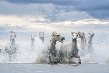 White horses of Camargue running out of the water, Camargue, France