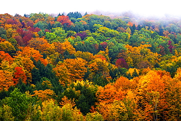 Vibrant autumn coloured foliage in a forest of deciduous trees, Fulford, Quebec, Canada