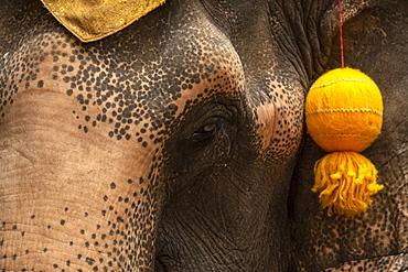 Close-up of elephant (Elephas maximus) head with gold tassel, Bangkok, Thailand