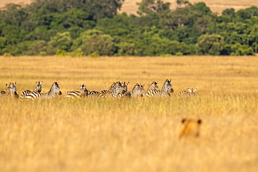 Lion (Panthera Leo) hiding in long grass watches herd of zebra (Equus quagga), Maasai Mara National Reserve, Kenya