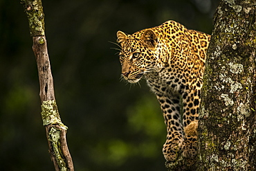 Leopard (Panthera pardus) looks down through lichen-covered tree branches, Maasai Mara National Reserve, Kenya
