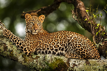 Close-up of leopard (Panthera pardus) lying on lichen-covered branch looking back, Maasai Mara National Reserve, Kenya