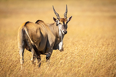 Eland (Taurotragus oryx) stands in long grass looking back over shoulder, Maasai Mara National Reserve, Kenya