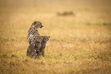 Cheetah (Acinonyx jubatus) sits with two cubs in grass, Maasai Mara National Reserve, Kenya